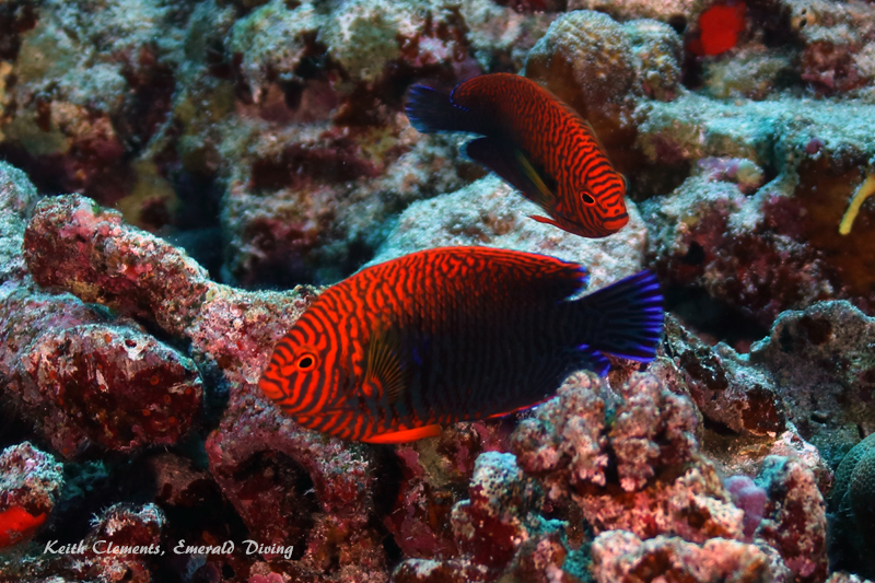 Angelfish_Potters_BackwallMaui16_5125