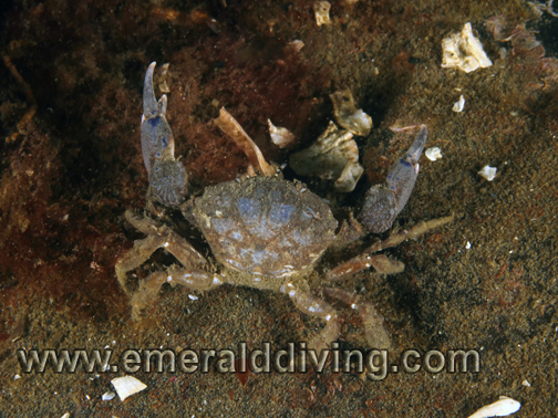 Black Claw Crab