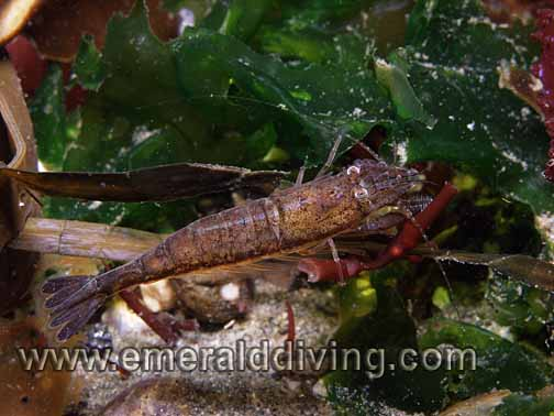 Blacktail Shrimp