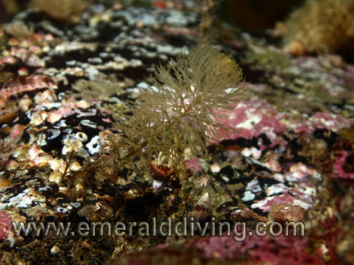 Bottlebrush Hydroid