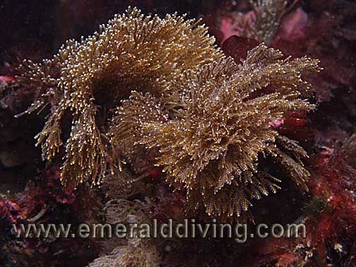 Brown Bushy Hydroid