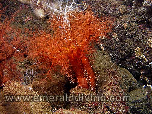 Burrowing Sea Cucumber