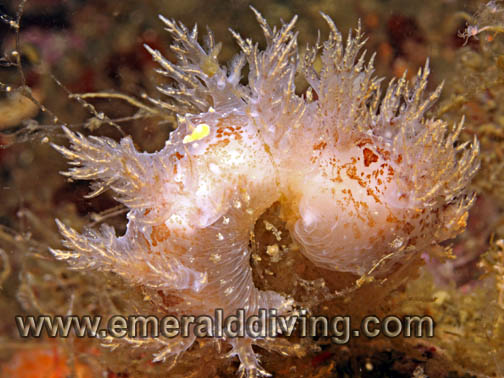 Bushy-Backed Nudibranch