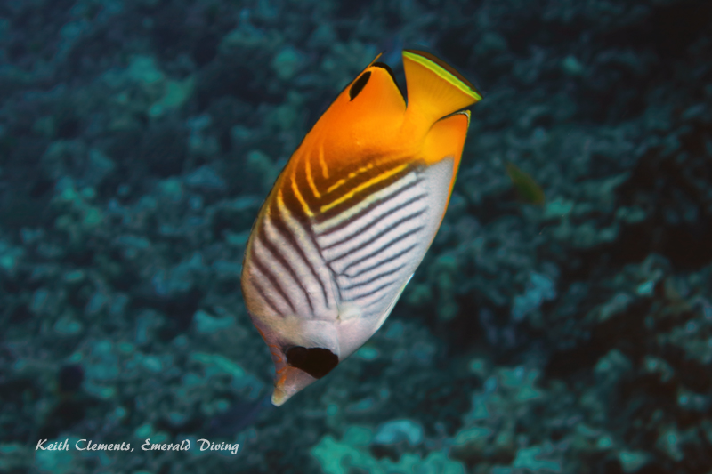 Butterfly_Threadfin_BackwallMaui16_5135