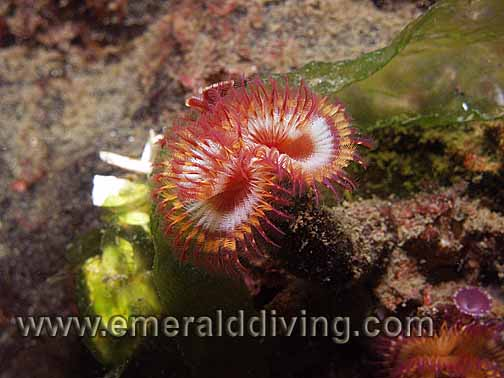 Calcareous Tube Worm