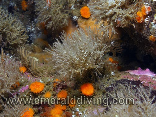 Dense Bushy Hydroid