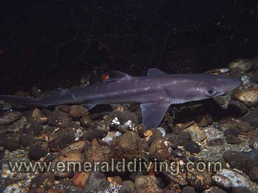 Pacific Spiny Dogfish