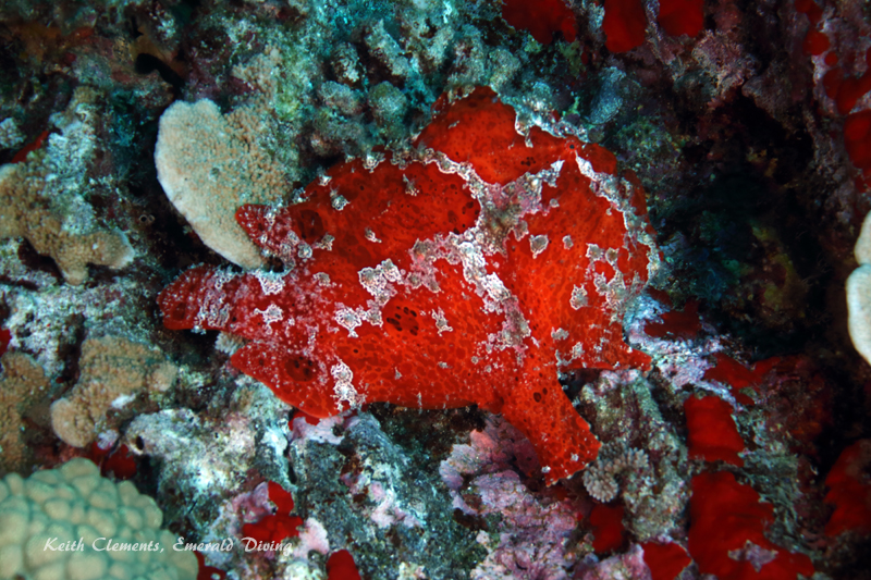 Frogfish_BackwallMaui16_5110