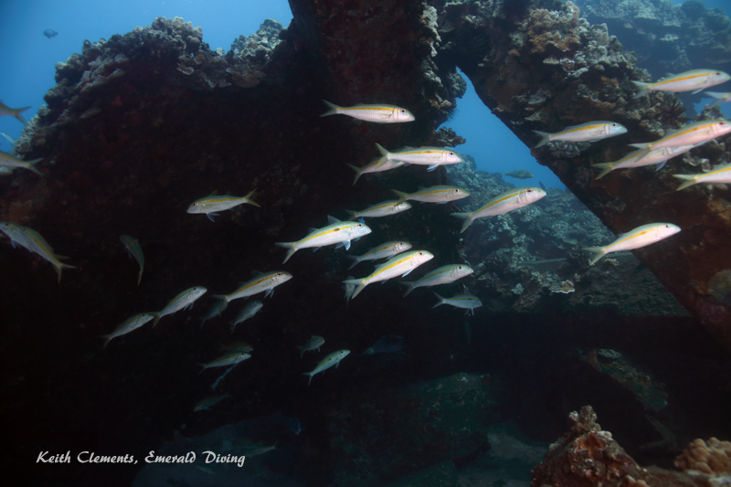 Goatfish_Yellowfin_MalaMaui16_5152