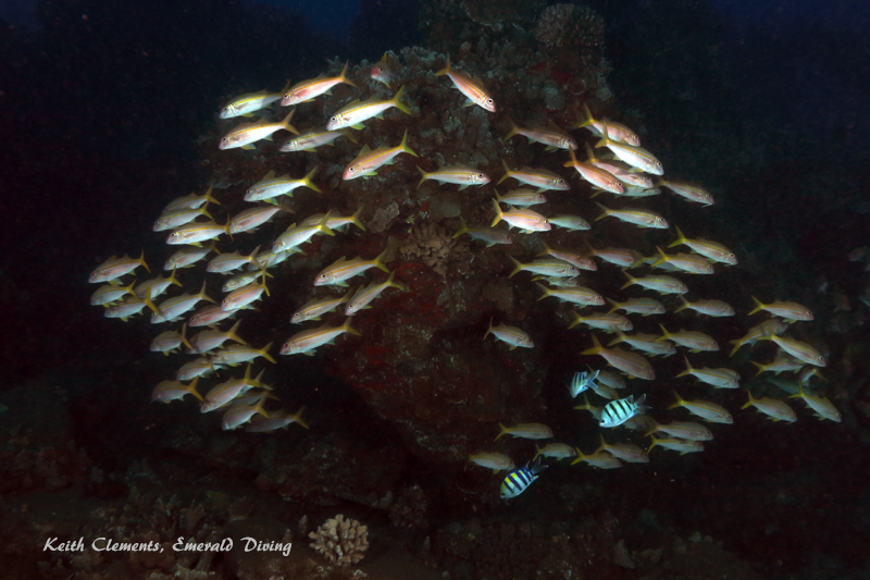 Goatfish_Yellowtail_MalaMaui16_5417