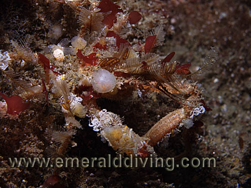 Graceful Decorator Crab