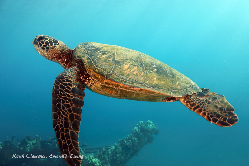 Green-Sea-Turtle_MalaMaui16_5212