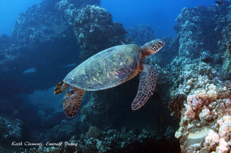 Green-Sea-Turtle_MalaMaui16_5215