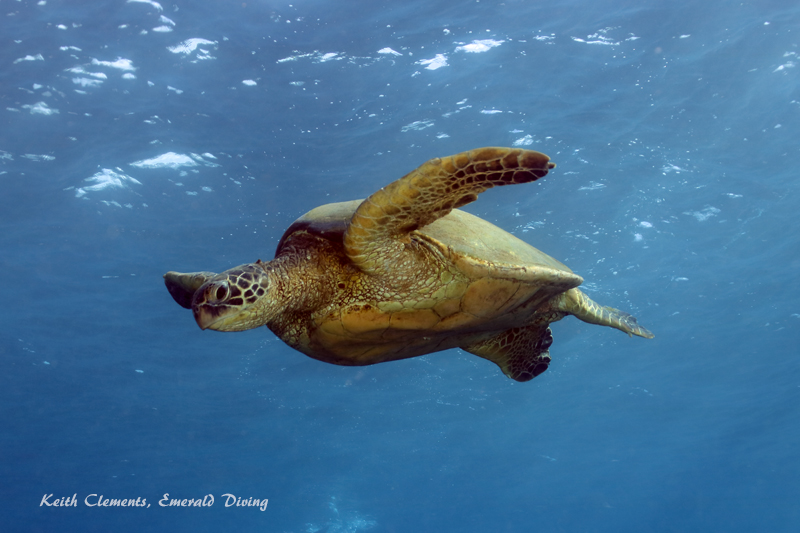 Green-Sea-Turtle_MalaMaui16_5220