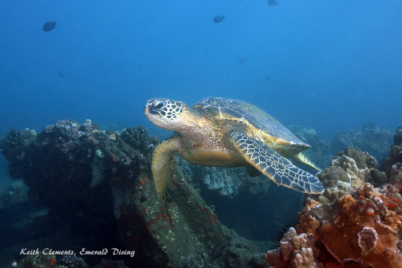 Green-Sea-Turtle_MalaMaui16_5223