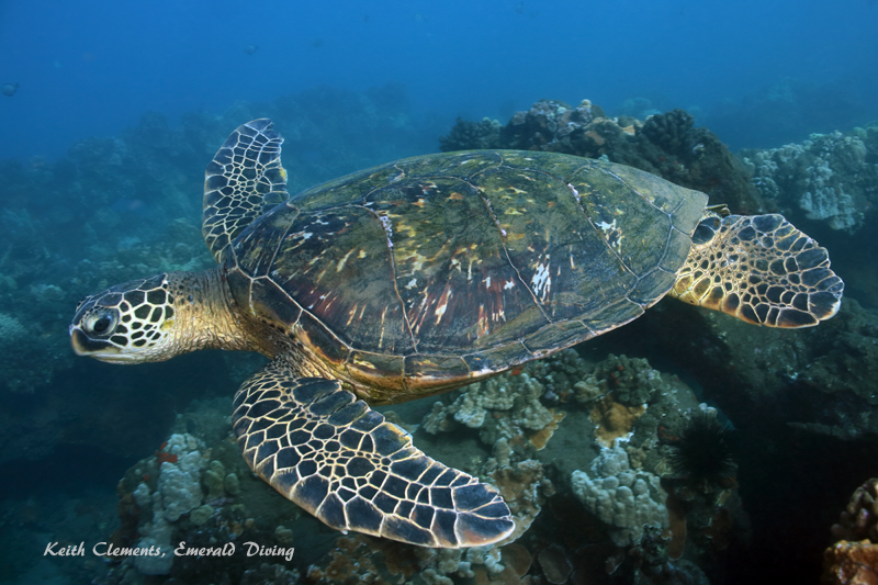 Green-Sea-Turtle_MalaMaui16_5224