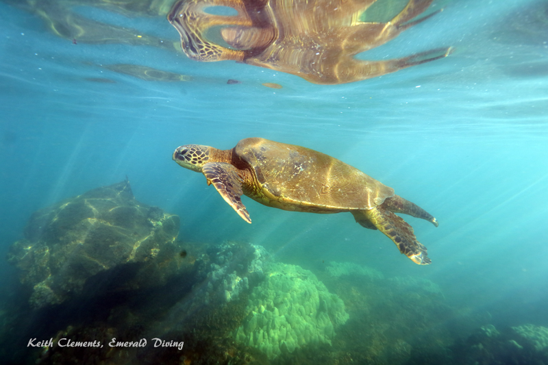 Green-Sea-Turtle_MalaMaui16_5233