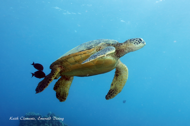 Green-Sea-Turtle_MalaMaui16_5244