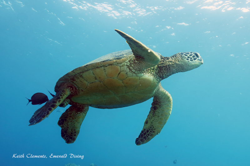 Green-Sea-Turtle_MalaMaui16_5245