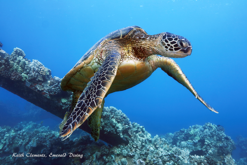 Green-Sea-Turtle_MalaMaui16_5248
