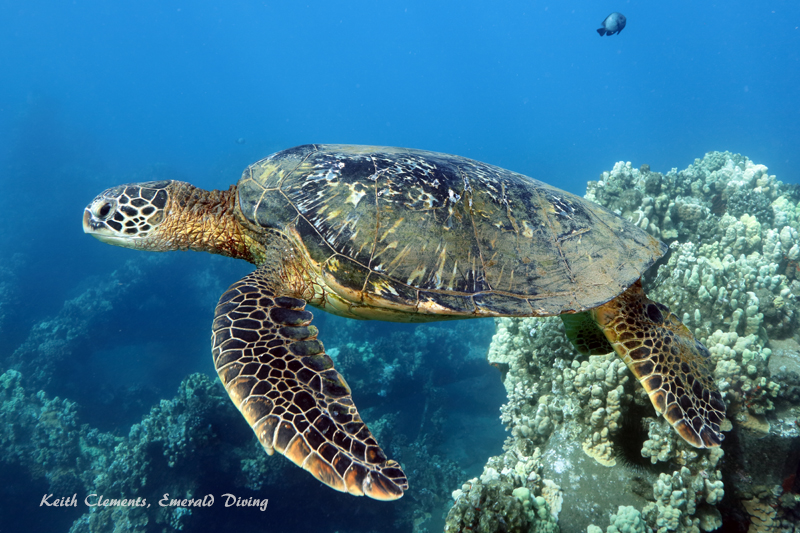 Green-Sea-Turtle_MalaMaui16_5249