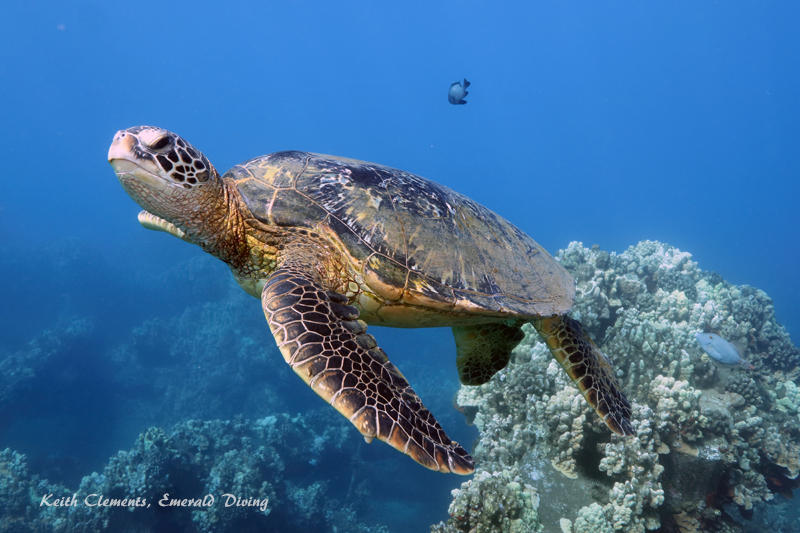 Green-Sea-Turtle_MalaMaui16_5250
