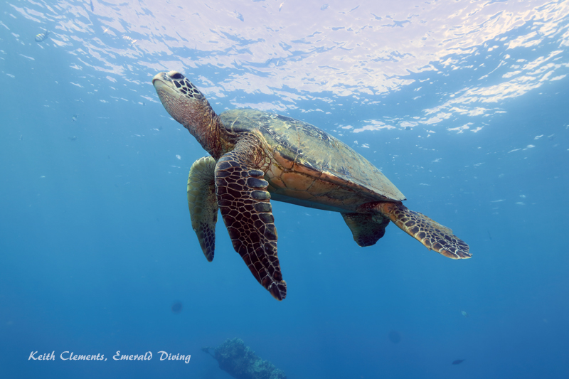 Green-Sea-Turtle_MalaMaui16_5254