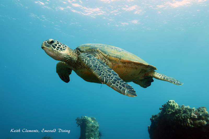 Green-Sea-Turtle_MalaMaui16_5258