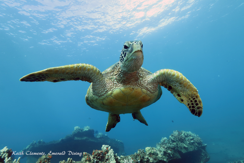 Green-Sea-Turtle_MalaMaui16_5262