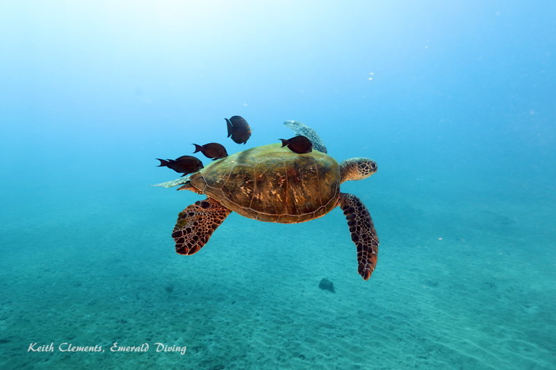 Green-Sea-Turtle_MalaMaui16_5265