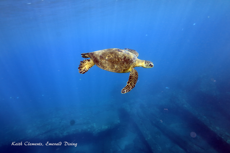 Green-Sea-Turtle_MalaMaui16_5268