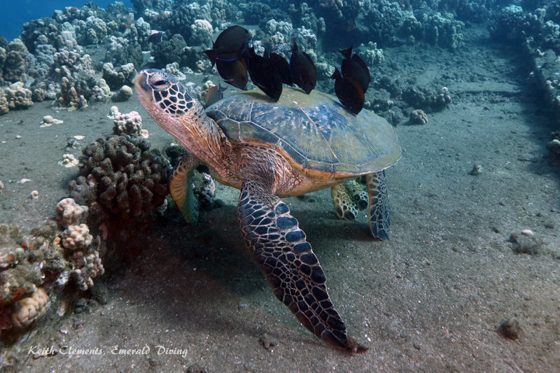 Green-Sea-Turtle_MalaMaui16_5270