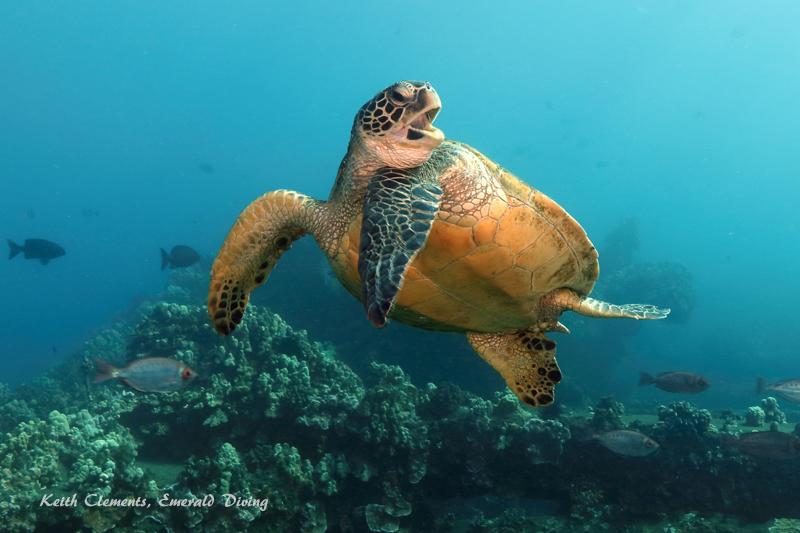 Green-Sea-Turtle_MalaMaui16_5303