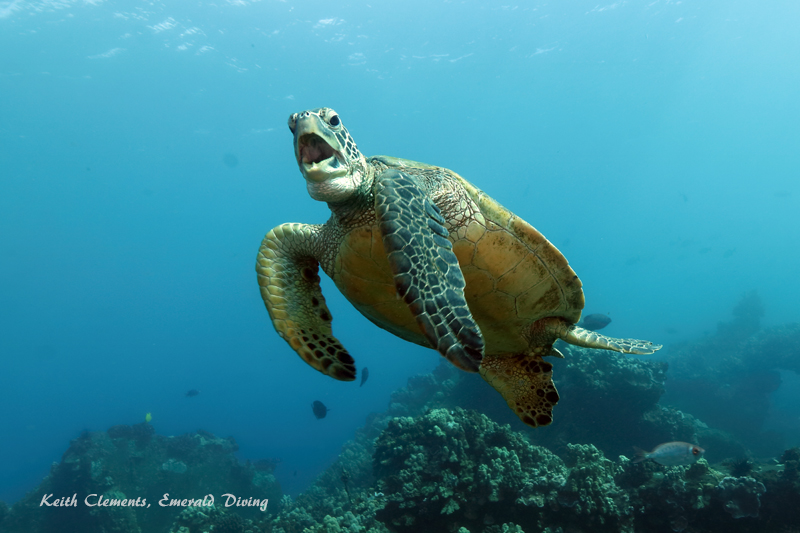 Green-Sea-Turtle_MalaMaui16_5304