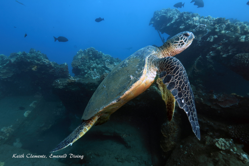 Green-Sea-Turtle_MalaMaui16_5310