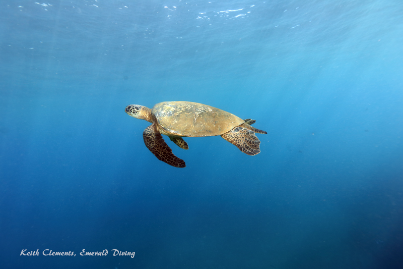 Green-Sea-Turtle_MalaMaui16_5315