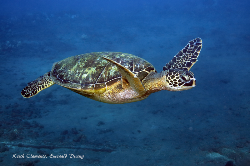Green-Sea-Turtle_MalaMaui16_5340