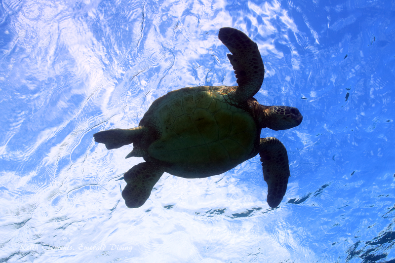Green-Sea-Turtle_MalaMaui16_5403