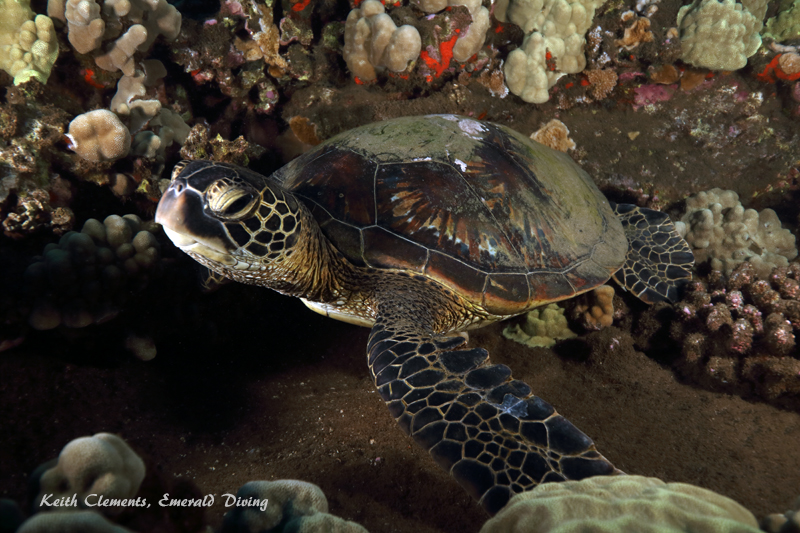Green-Sea-Turtle_MalaMaui16_5406
