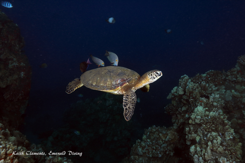 Green-Sea-Turtle_MalaMaui16_5415