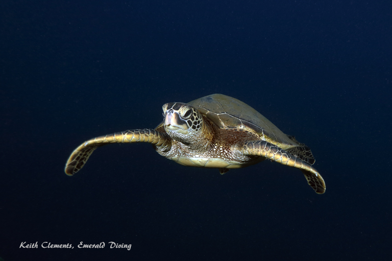 Green-Sea-Turtle_MalaMaui16_5423