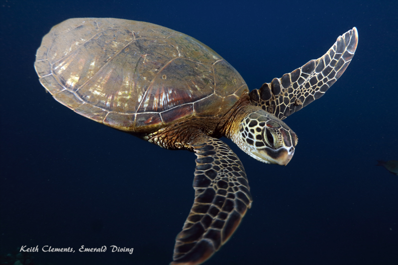 Green-Sea-Turtle_MalaMaui16_5424