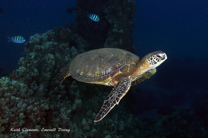 Green-Sea-Turtle_MalaMaui16_5425