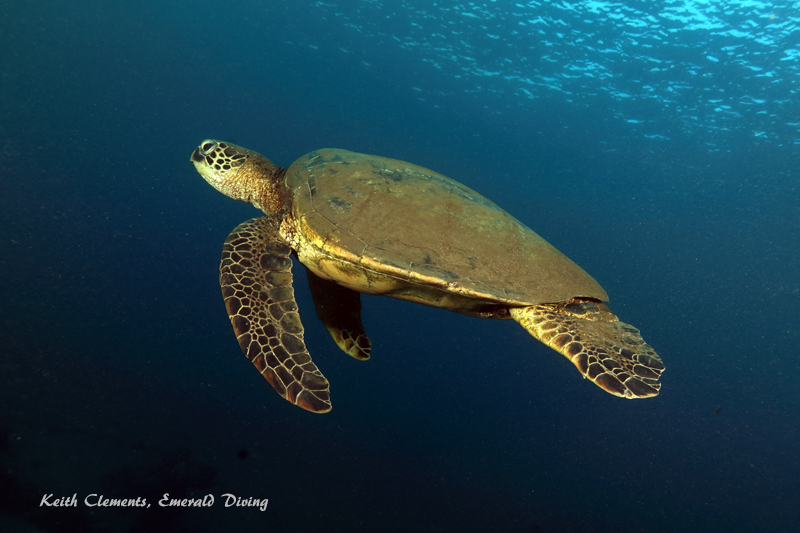Green-Sea-Turtle_MalaMaui16_5435