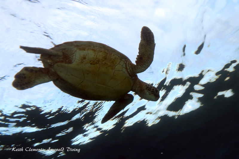 Green-Sea-Turtle_MalaMaui16_5437