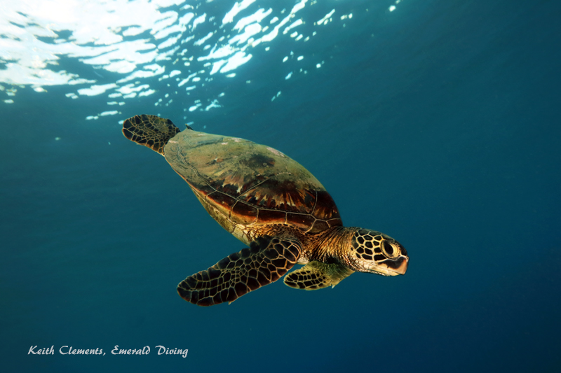 Green-Sea-Turtle_MalaMaui16_5440