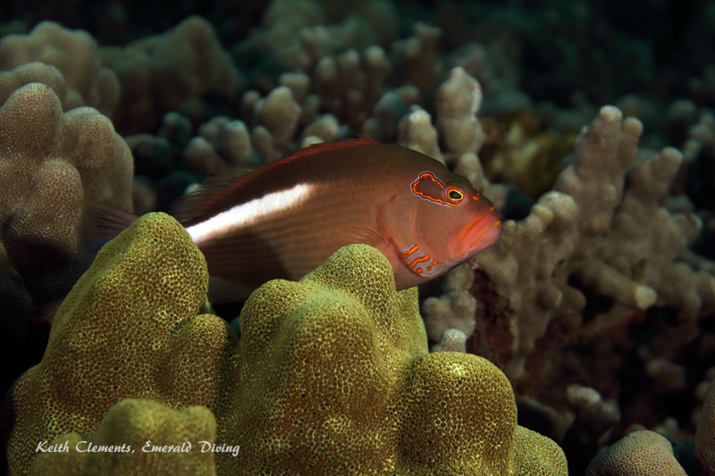 Hawkfish_Arc-Eye_AirportMaui16_5506
