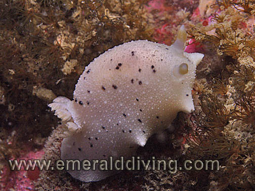 Heaths Dorid