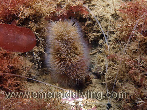 Hedgehog Hydroid