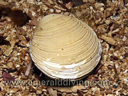 Kennerly's Venus Clam